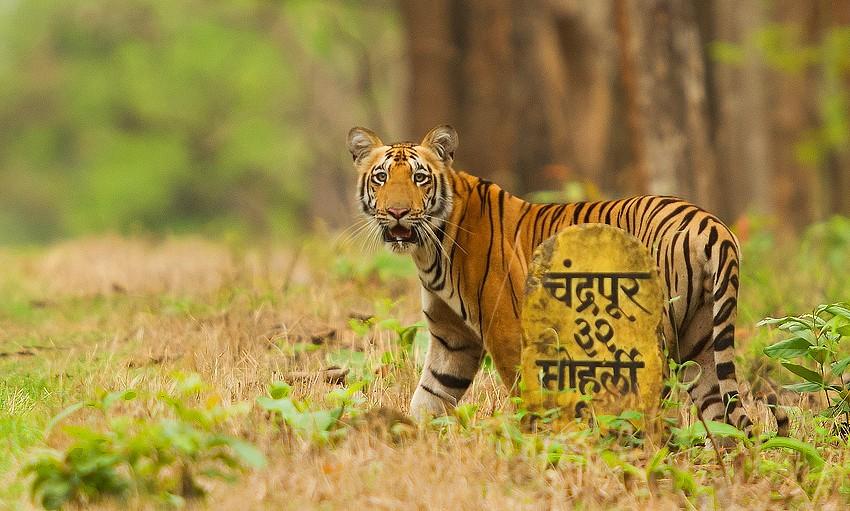 Tadoba Andhari Tiger Reserve-chandrapur