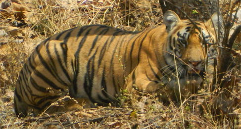 Bor wildlife sanctuary Tiger